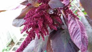 Amaranth Flower