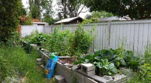 The weedy garden. Cabbages in front, tomatoes at the rear